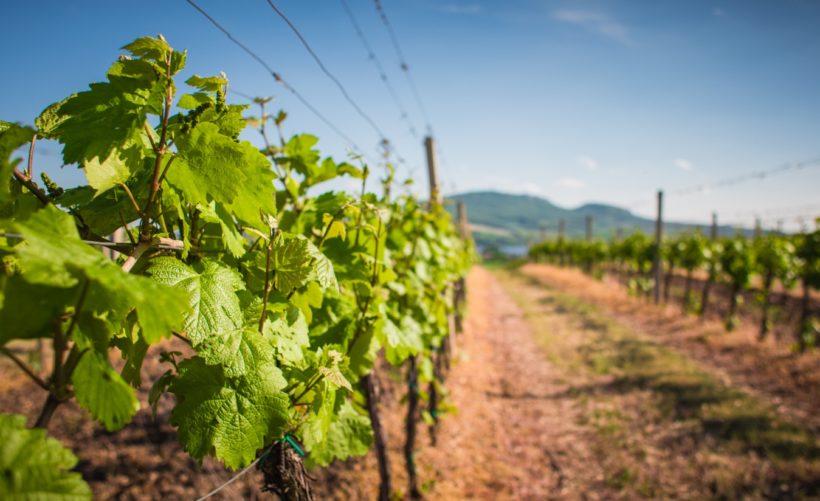 viticulture2